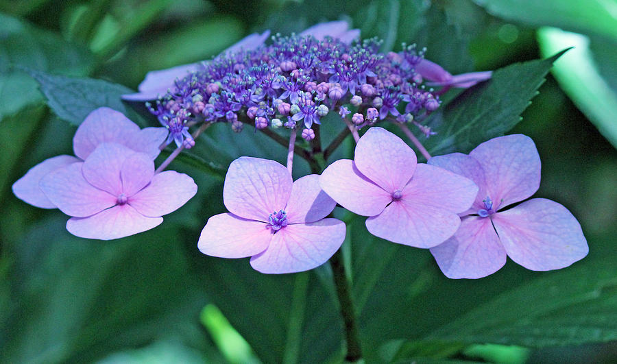 Becky Photograph - Pink Lacecap Hydrangea by Becky Lodes