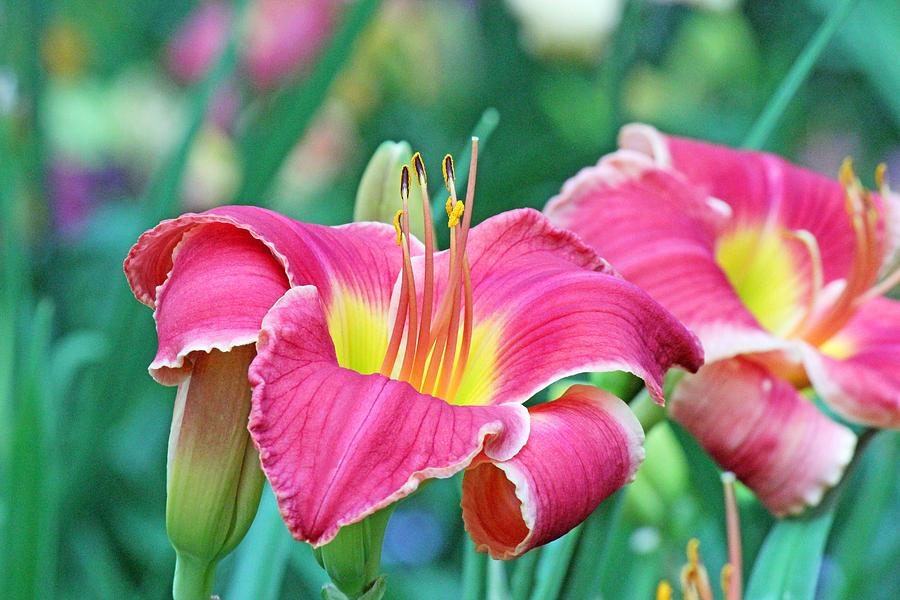 Pink Lilies Photograph