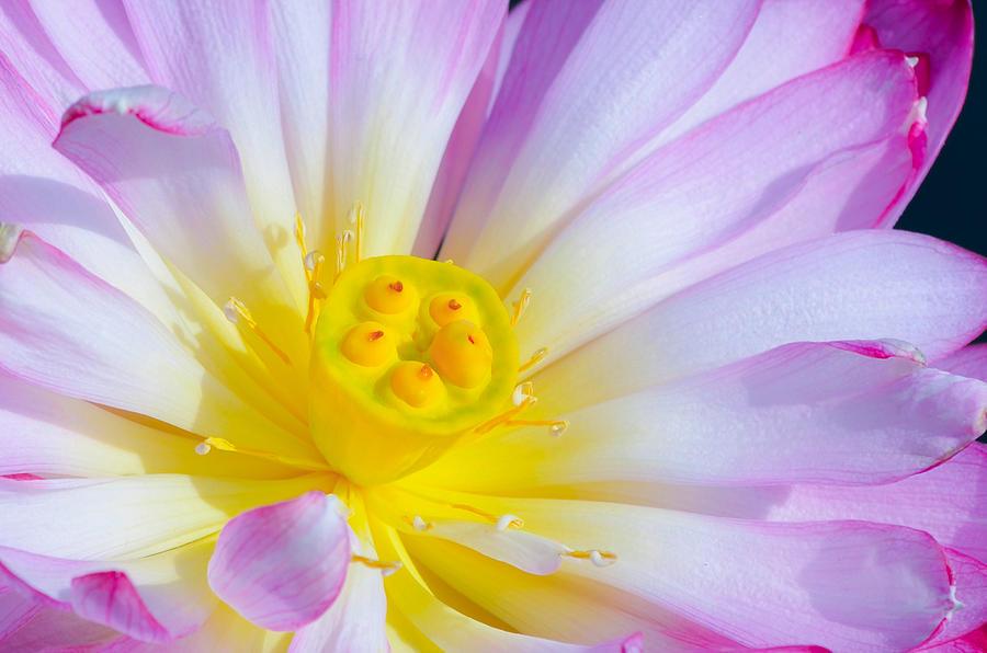 Pink Lotus 4 Photograph