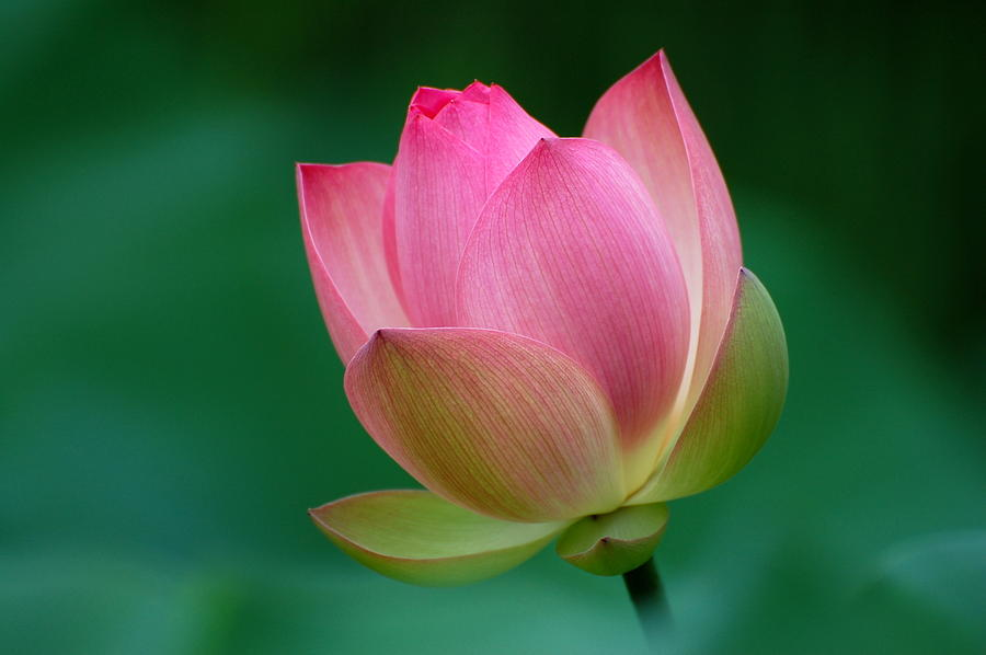 Pink Lotus Flower Photograph  - Pink Lotus Flower Fine Art Print