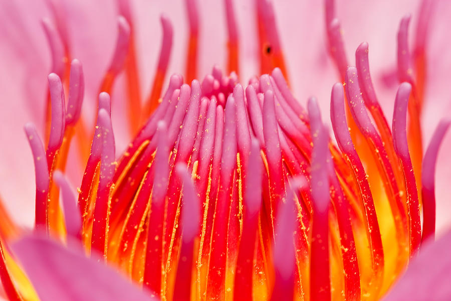 Pink Lotus In Thailand Photograph