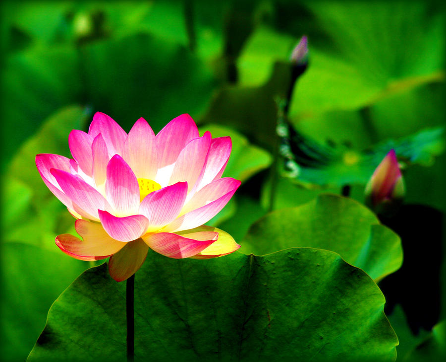 Essay on lotus flower in hindi and in english kamal ka essay on national flower lotus in hindi mightylinksfo