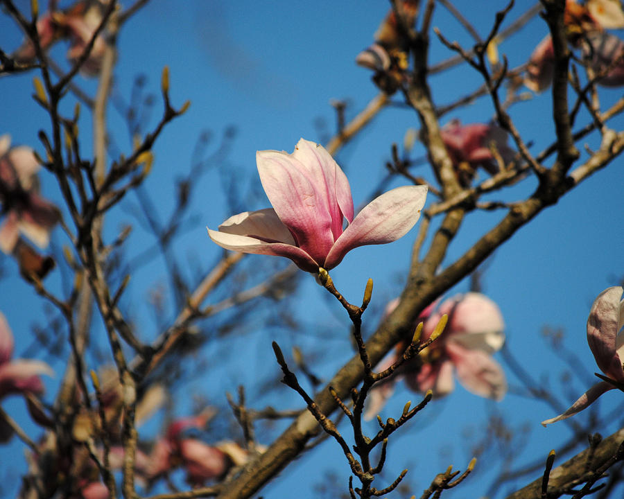 Pink Magnolia Flower Photograph