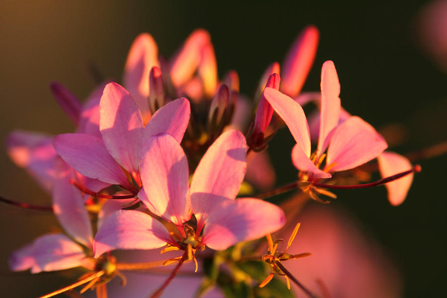 Pink Flower Photograph - Pink Morning by Jose Rodriguez