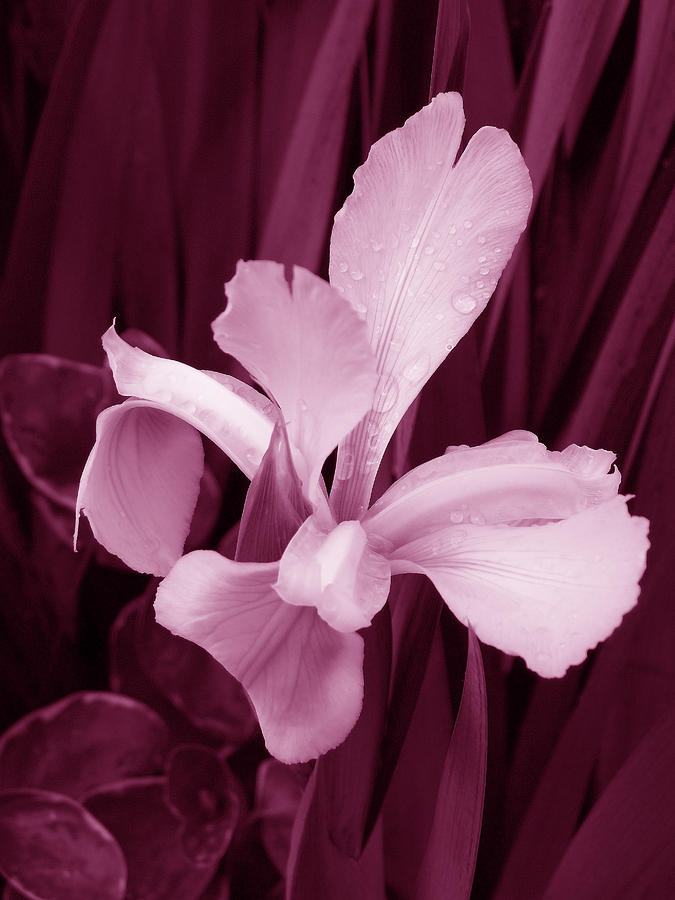 Pink Orchid Against Maroon Foliage Photograph 