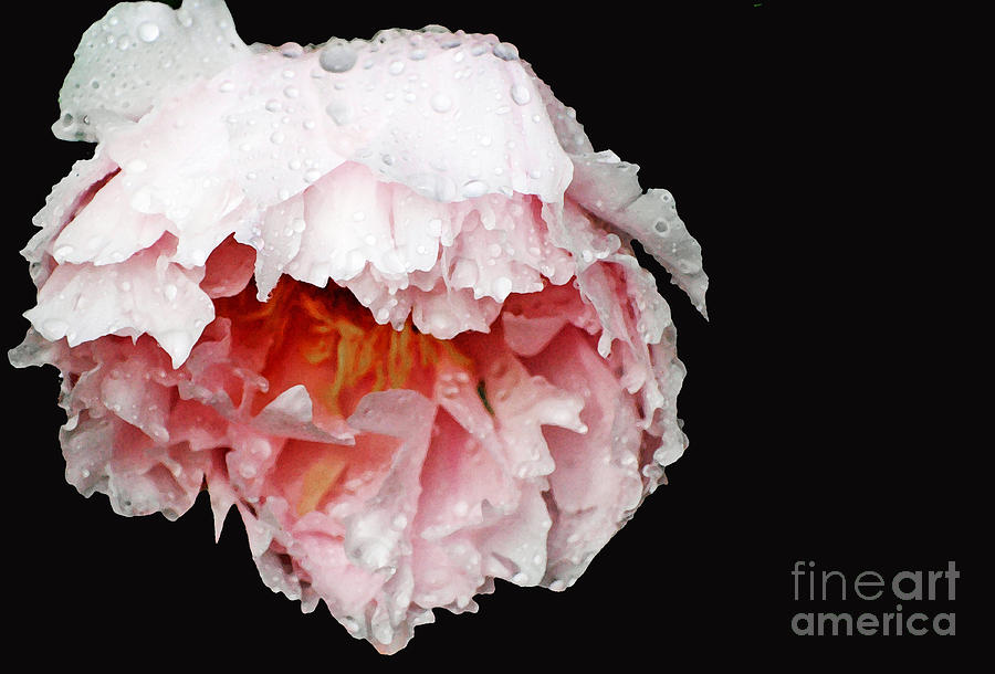 Pink  Peonies In The Rain Photograph