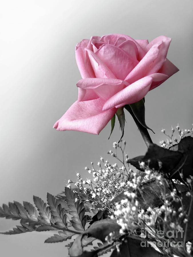 Pink Petals Photograph