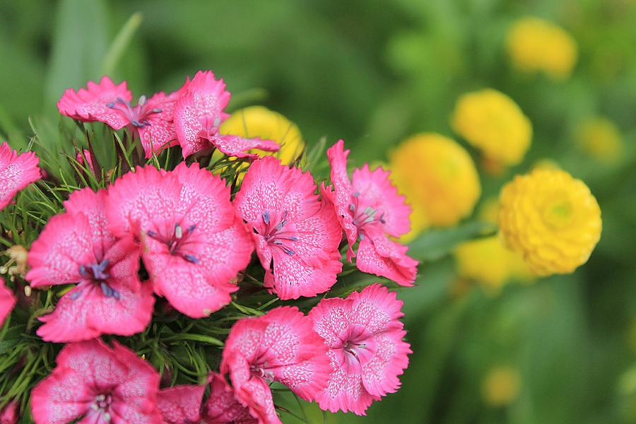 Pink Phlox And Yellow Buttons Photograph  - Pink Phlox And Yellow Buttons Fine Art Print