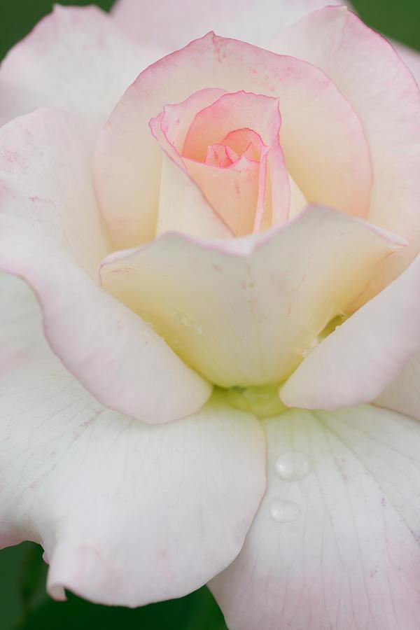 Background Photograph - Pink Rim White Rose by Atiketta Sangasaeng