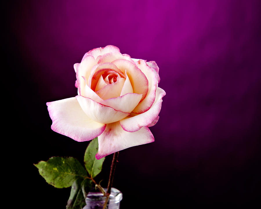 Pink Rose Against Purple Spotlight Photograph  - Pink Rose Against Purple Spotlight Fine Art Print