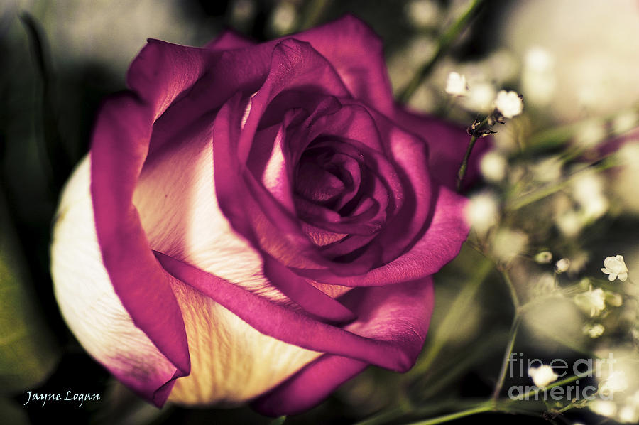 Pink Rose Bride Photograph  - Pink Rose Bride Fine Art Print