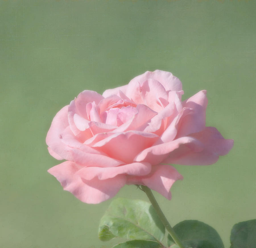 Flower Photograph - Pink Rose by Kim Hojnacki