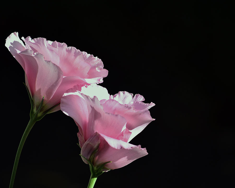 Pink Photograph - Pink Roses by Lisa Plymell
