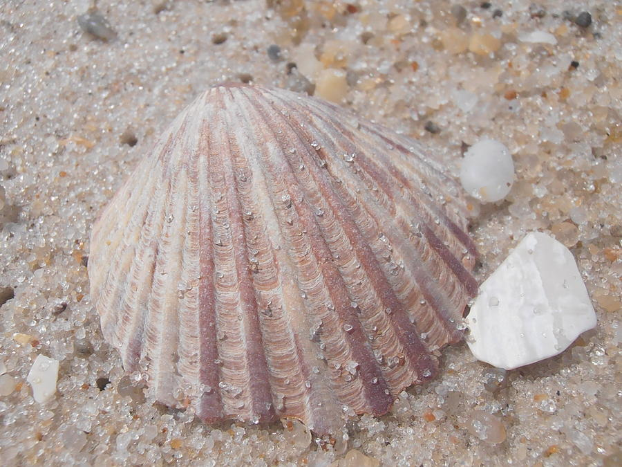 Pink Scallop Shell Photograph  - Pink Scallop Shell Fine Art Print