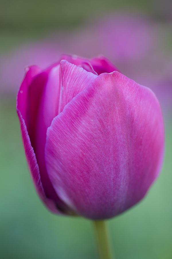 Pink Tulip Flower Photograph