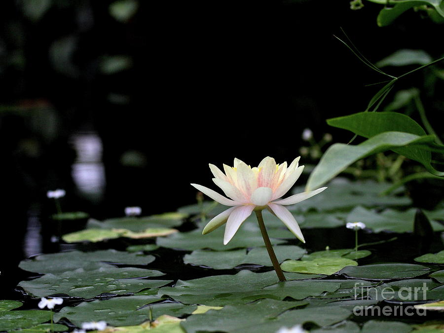 yellow water lily flower - photo #42