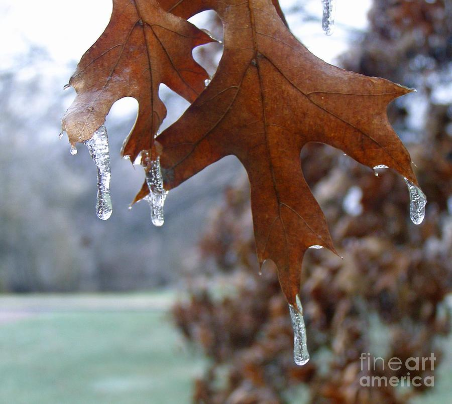 Pinoak And Ice Photograph  - Pinoak And Ice Fine Art Print