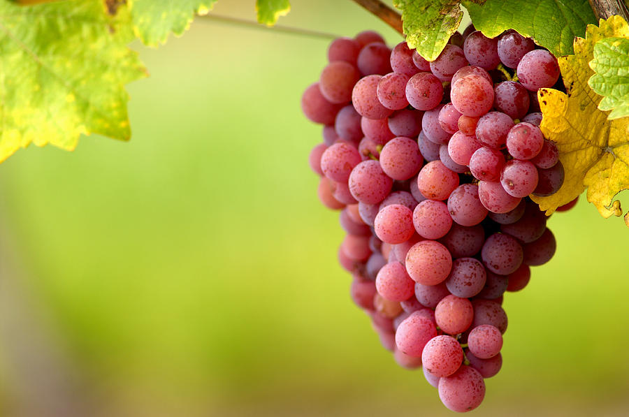 Pinot Noir Grapes Photograph