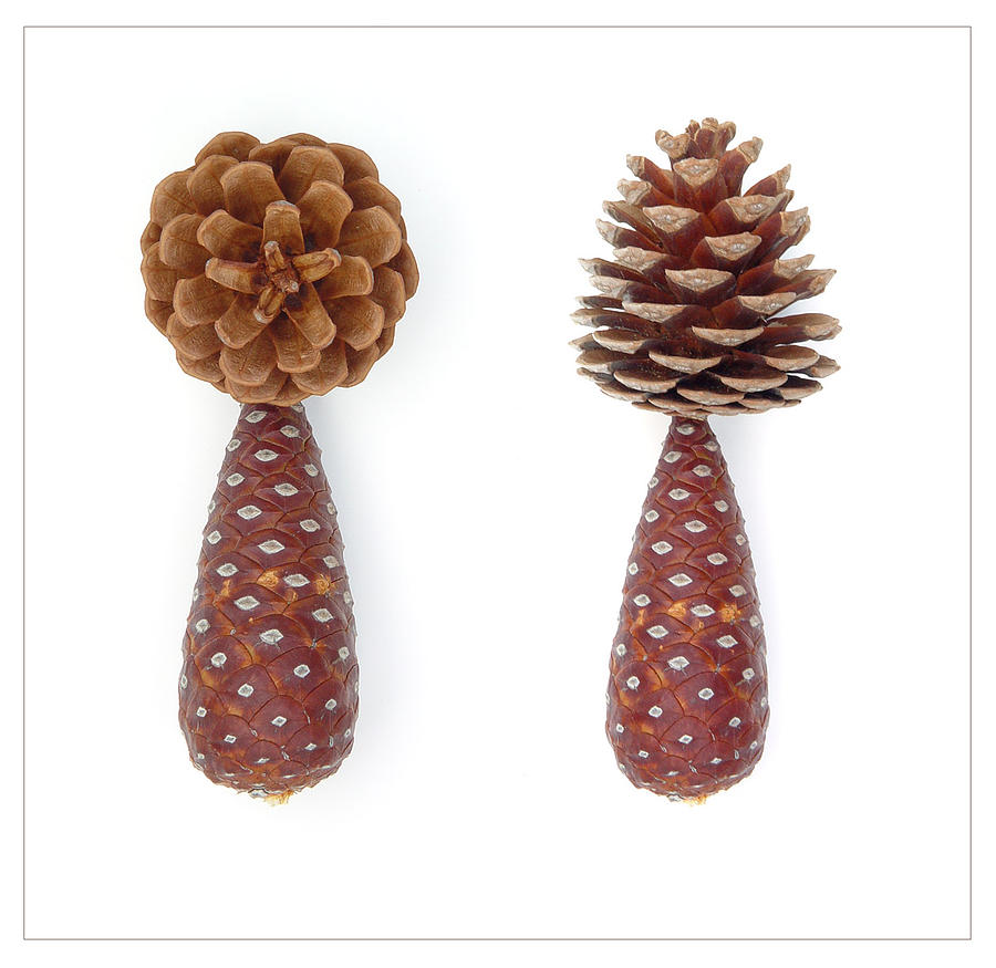 Pinus Ponderosa    Pine Cones Photograph