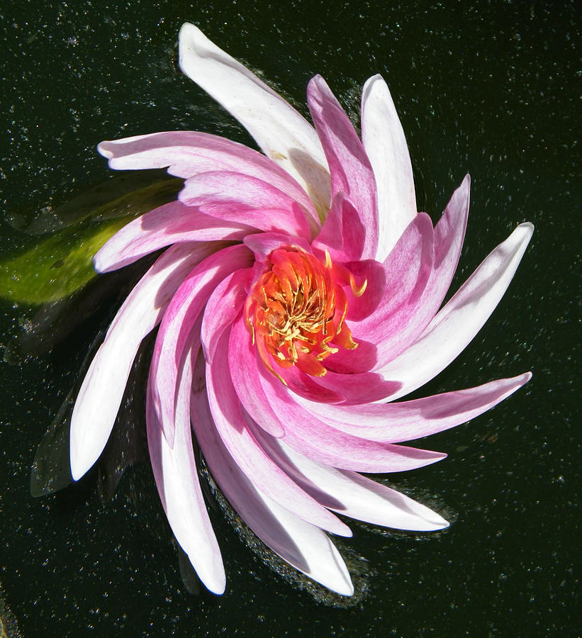 Water Photograph - Pinwheel Pink Water Lily by Mary Sedivy
