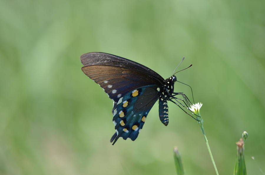 Pipevine Swallowtail Butterfly Photograph - Pipevine Swallowtail Nectaring by Kathy Gibbons