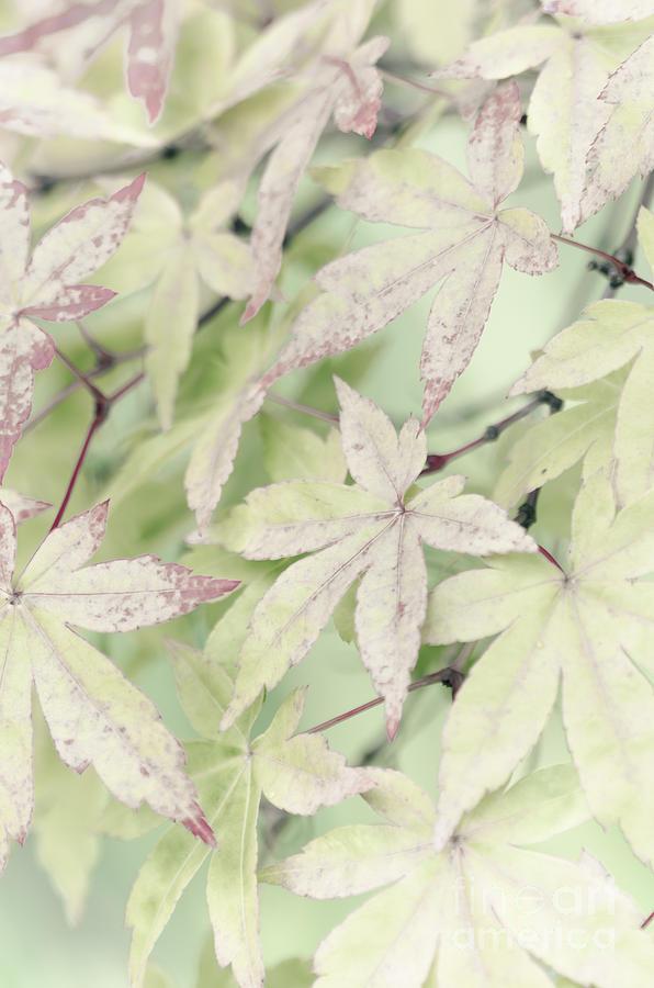Maple Photograph - Pistachio Maple by David Lade