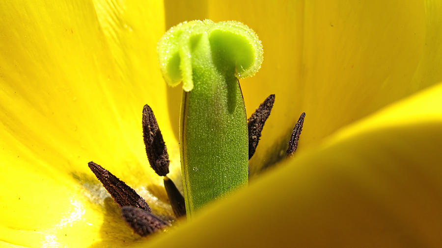 Pistil And Stamens Hiding Behind A Yellow Tulip Petal Photograph  - Pistil And Stamens Hiding Behind A Yellow Tulip Petal Fine Art Print