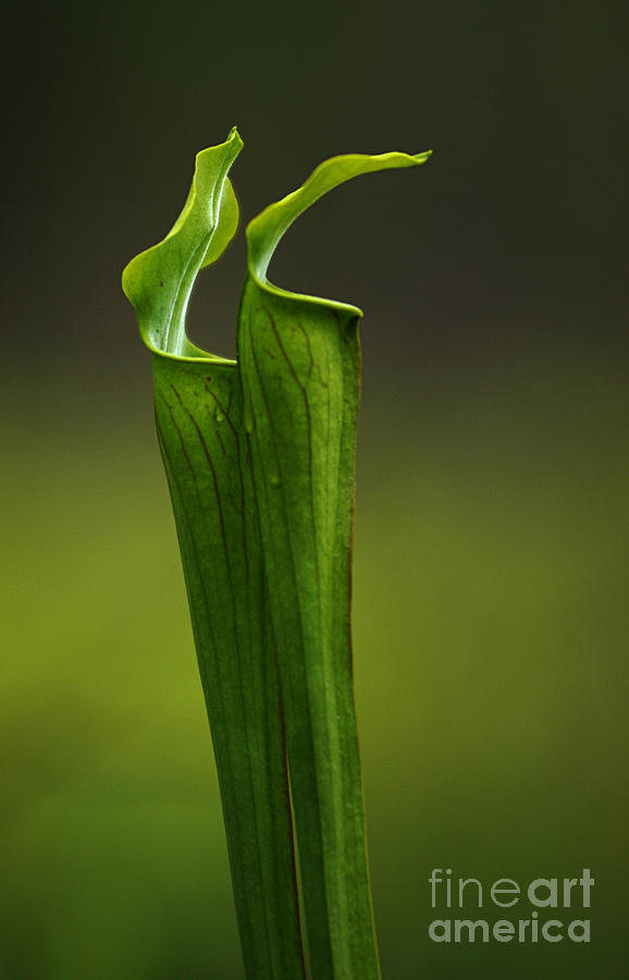 Pitcher Plants 2 Photograph