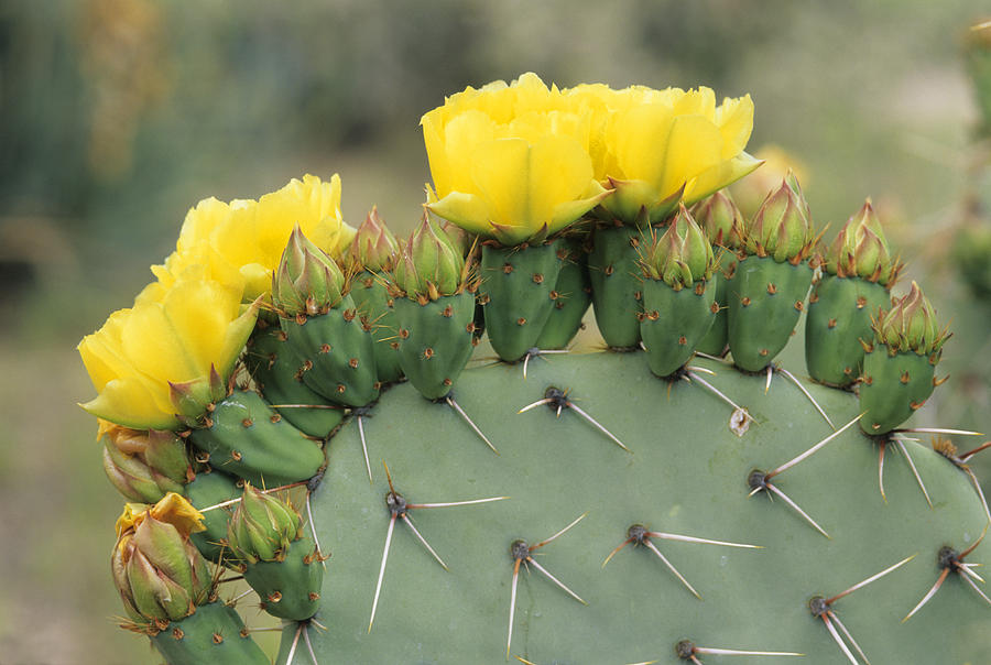 Plains Prickly Pear Blossoms Photograph  - Plains Prickly Pear Blossoms Fine Art Print