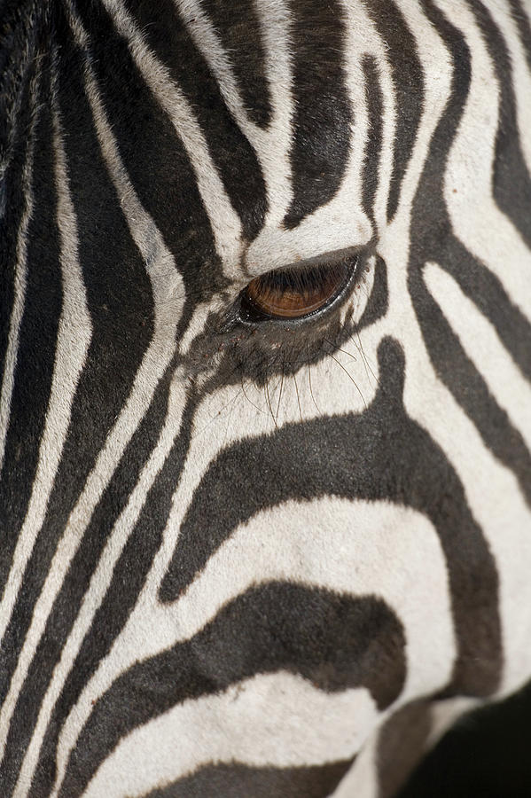 Plains Zebra (equus Burchelli), Close-up Of Eye Photograph  - Plains Zebra (equus Burchelli), Close-up Of Eye Fine Art Print