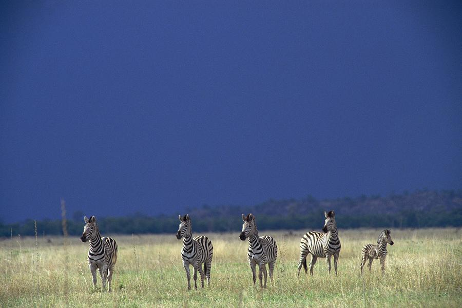 Plains Zebra Equus Burchelli In Chobe Photograph