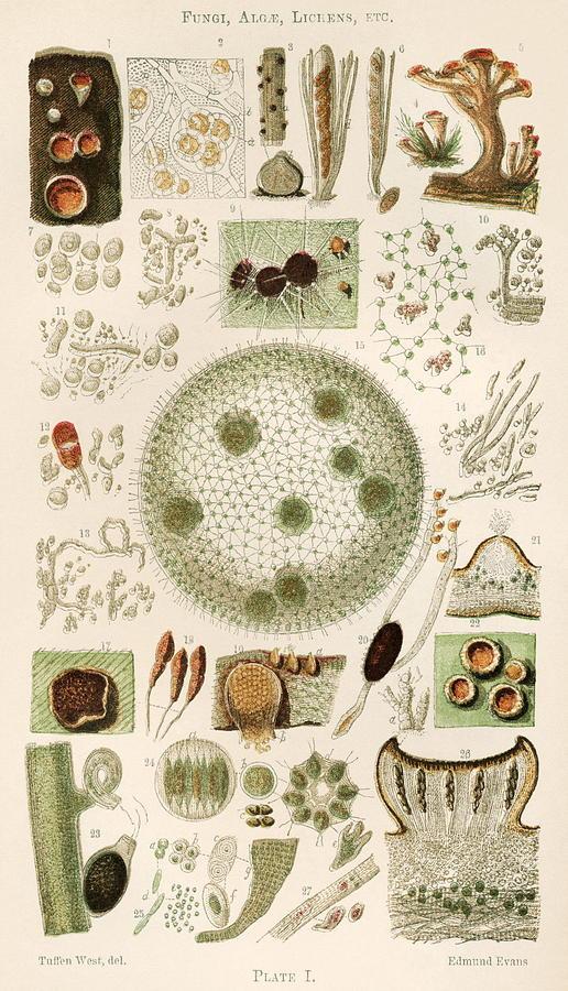 Plant And Fungi Microscopy, 19th Century Photograph