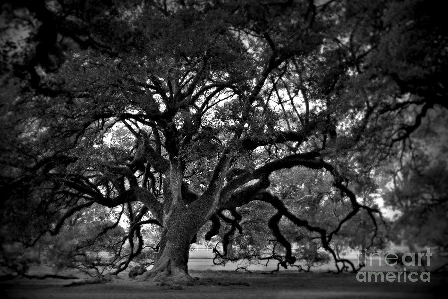 Plantation Oak Tree Photograph  - Plantation Oak Tree Fine Art Print