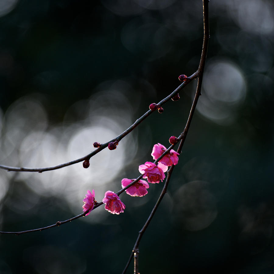 Plum Blossoms Photograph