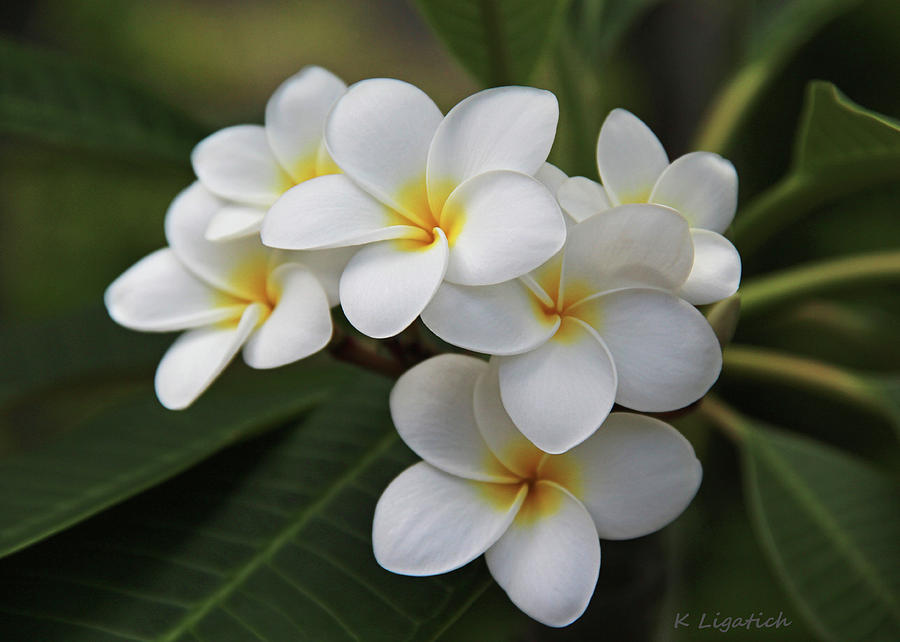 Plumeria - Golden Hearts Photograph