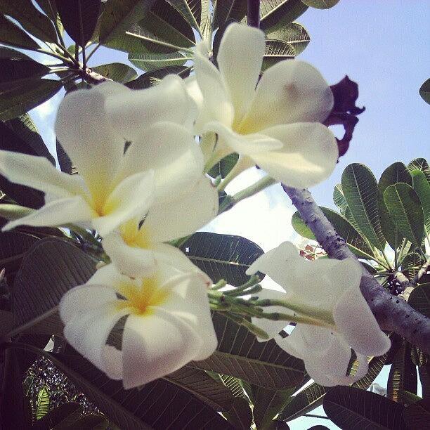 Plumeria Photograph