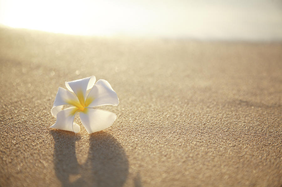 Plumeria On Beach I Photograph  - Plumeria On Beach I Fine Art Print
