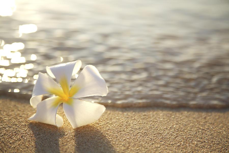 Plumeria On Beach II By Brandon Tabiolo  Printscapes