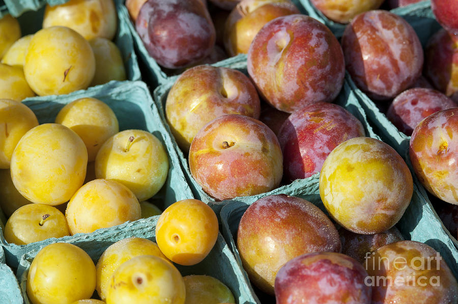 Plums Photograph  - Plums Fine Art Print