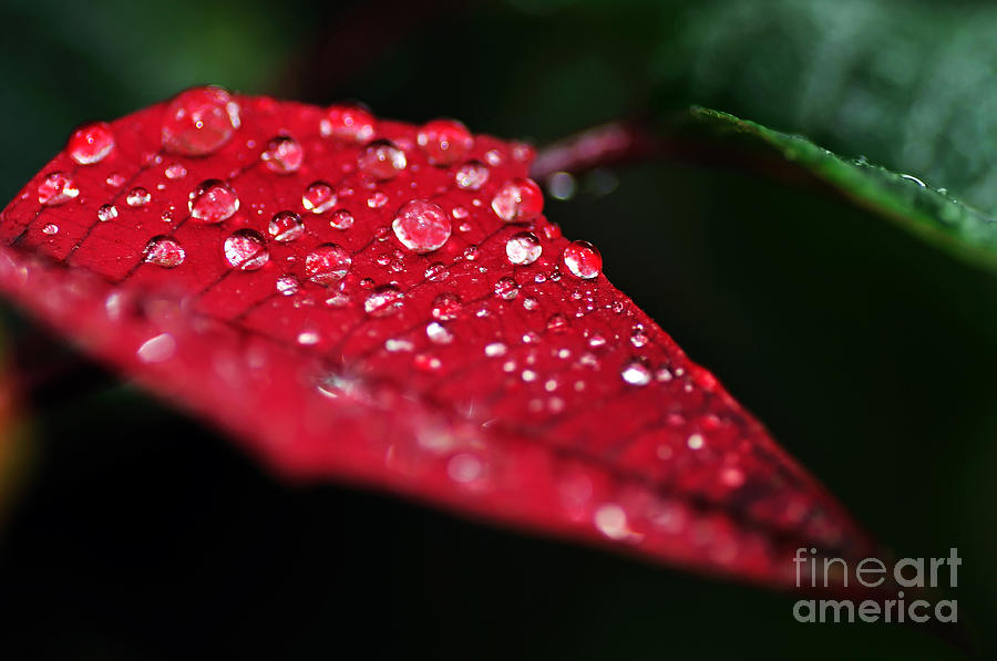 Poinsettia Leaf With Water Droplets Photograph  - Poinsettia Leaf With Water Droplets Fine Art Print