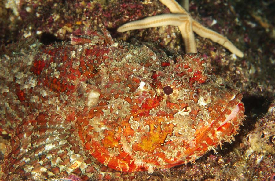 Poisonous Stone Fish, Scorpaena Mystes Photograph