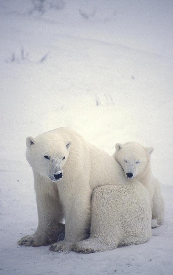 Polar Bear And Cub Photograph