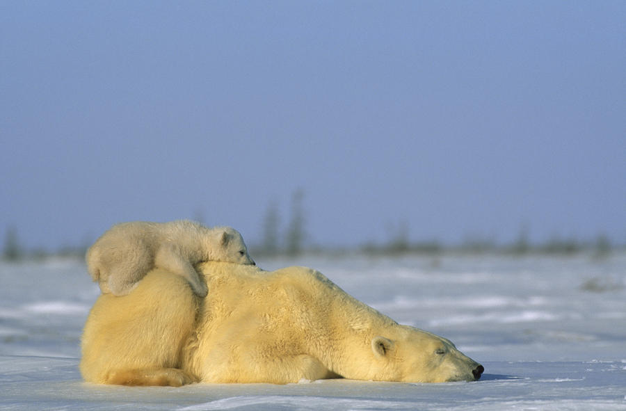 Polar Bear And Her Cub Resting Photograph