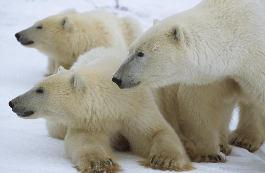 Polar Bear And Two Large Cubs Sniffing Photograph