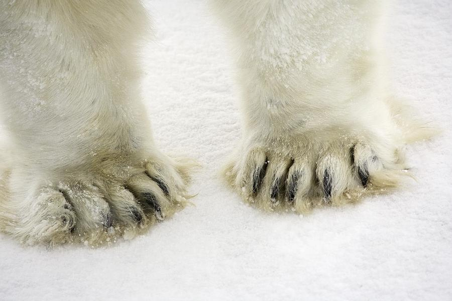 Polar Bear Feet is a photograph by Richard Wear which was uploaded on ...