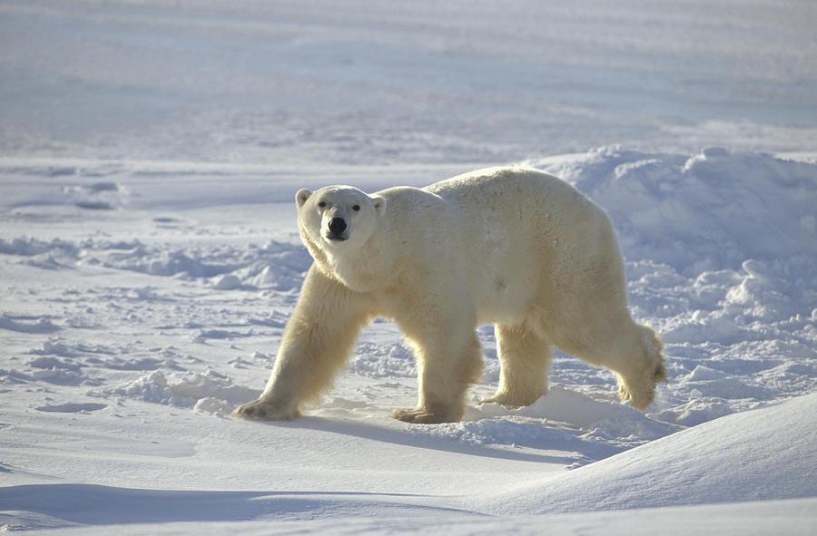 Baby Polar Bear on Ice Polar Bear on Ice