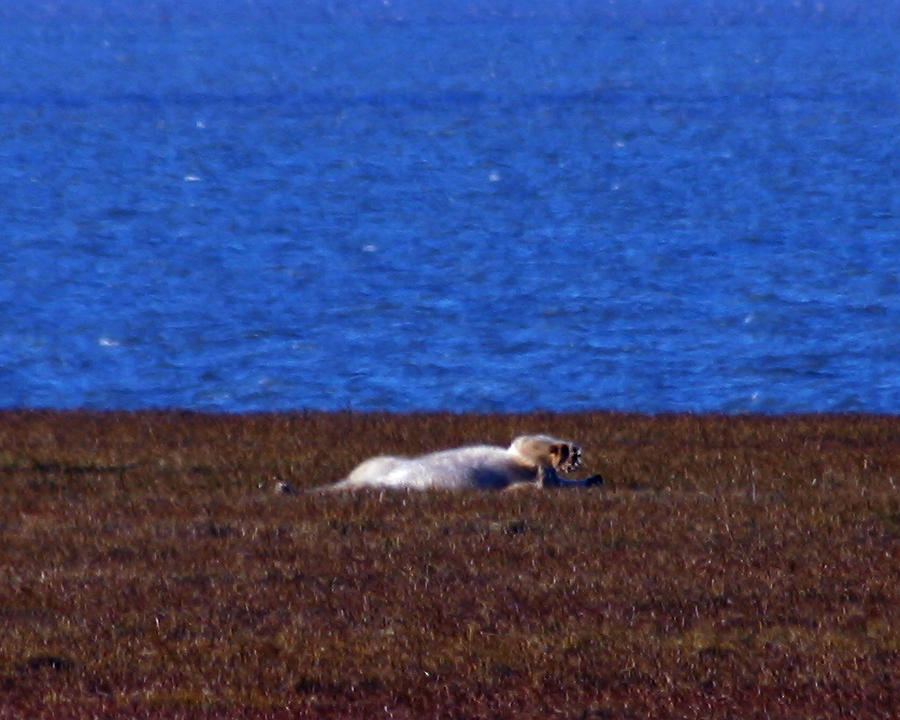 Polar Bear Rolling In Tundra Grass Photograph  - Polar Bear Rolling In Tundra Grass Fine Art Print