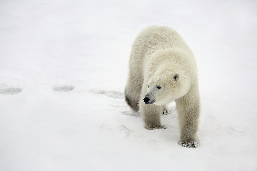 Polar Bear Walking Photograph