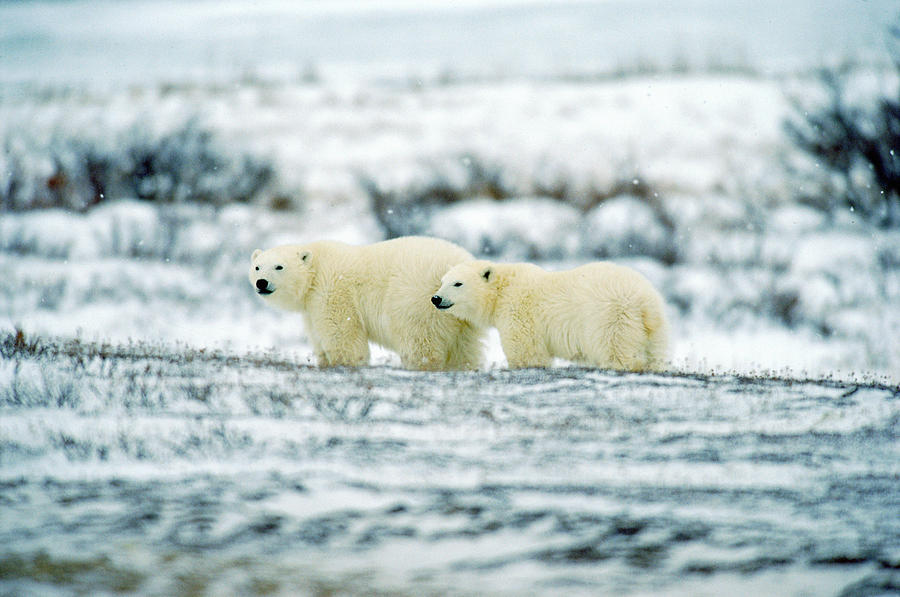 Polar Bears, Churchill, Manitoba Photograph  - Polar Bears, Churchill, Manitoba Fine Art Print