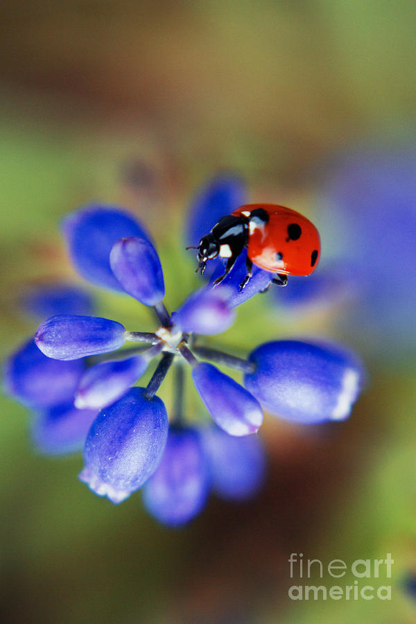 Ladybug Photograph - Polka Dot  by Ekaterina LaBranche